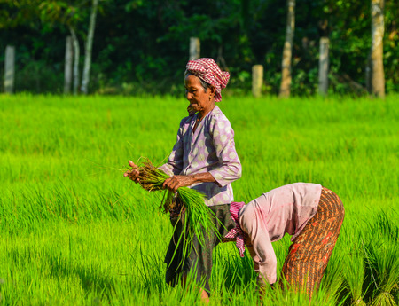 An Giang, Vietnam - Sep 2, 2017. Old women working on rice field in An Giang, Vietnam. An Giang is a province in Mekong Delta, bordering Cambodia.