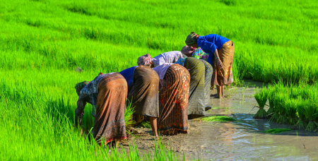 An Giang, Vietnam - Sep 2, 2017. Old women working on rice field in An Giang, Vietnam. An Giang occupies a position in the upper reaches of the Mekong Delta.