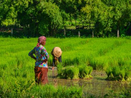 An Giang, Vietnam - Sep 2, 2017. Ethnic women working on rice field in An Giang, Vietnam. An Giang is a province in Mekong Delta, bordering Cambodia.