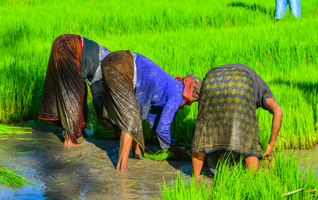 Khmer women in traditional clothes working on rice field in Mekong Delta, Vietnam.