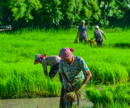 An Giang, Vietnam - Sep 2, 2017. Old women working on paddy rice field in An Giang, Vietnam. An Giang occupies a position in the upper reaches of the Mekong Delta.