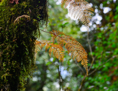 Yellow fern leaves on an old pine tree at deep forest.