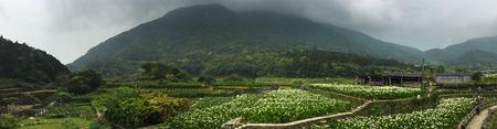 Arum-lily flower fields in Yangmingshan National Park, Taiwan.