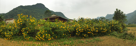 Mexican sunflowers blooming at the forest in Northern Vietnam.