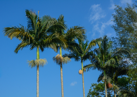 Green Areca Catechu trees (betel palm) at sunny day in nature garden.