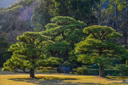 Pine trees under sun light at zen garden in Mie Prefecture, Japan.