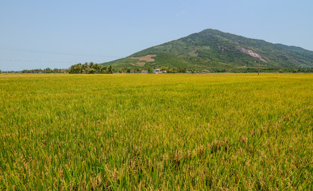 Rice field at summer day in An Giang, Southern Vietnam. Stock Photo