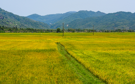 Rice field at summer day in An Giang, Southern Vietnam. Banque d'images