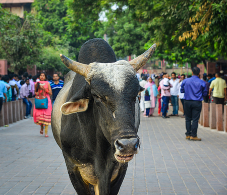 Sacred cow on street near Taj Mahal in Agra, India. Stock Photo