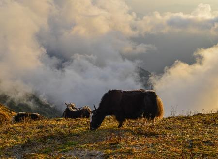 A yak eating grass on mountain at sunrise in Khopra, Nepal. Stock Photo
