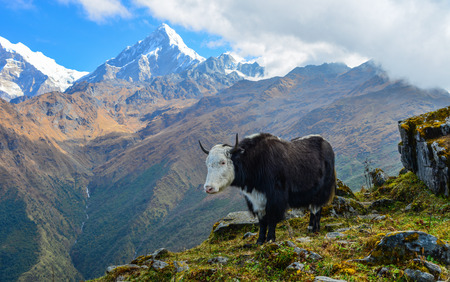 A black yak standing on mountain of Annapurna Range of Nepal.