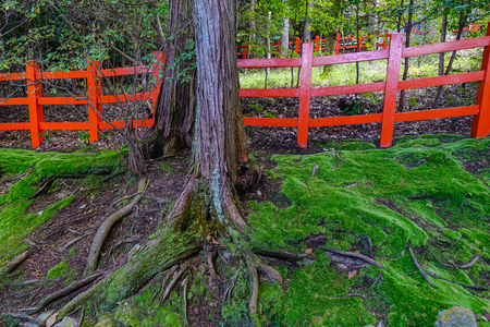 Huge trees with red wooden fence at the park in Kyoto, Japan. Stock Photo