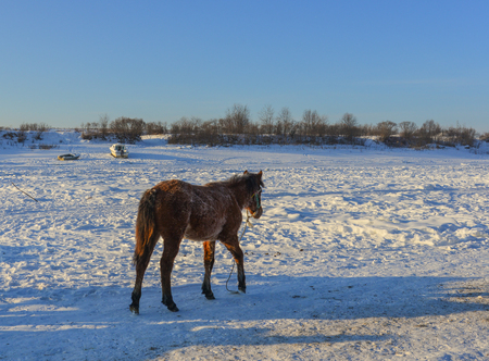 A horse standing on snow river in North of China.