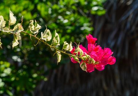Beautiful magenta bougainvillea (paper flowers) in colorful color (Bougainvillea glabra Choisy).