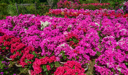 Bougainvillea flower plantation at spring time in Mekong Delta, Vietnam. Stock fotó