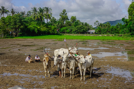 An Giang, Vietnam - Sep 2, 2017. Cows standing on the field during ox racing festival in An Giang, Vietnam. Editorial