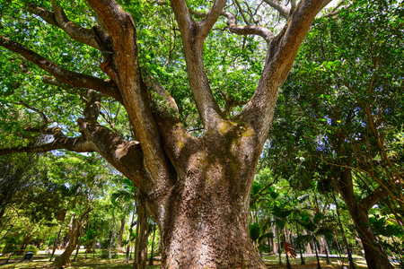 Big tree at botanic garden on Mauritius Island. Mauritius is an island nation in the Indian Ocean about 2,000 kilometres.
