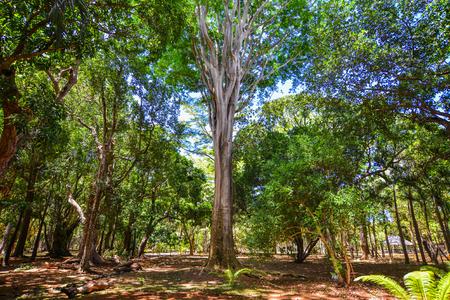 Trees at botanic garden on Mauritius Island.