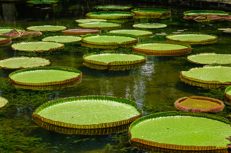 Giant water lilies (Victoria Amazonica) on pond at Sir Seewoosagur Ramgoolam Botanic Garden on Mauritius Island.