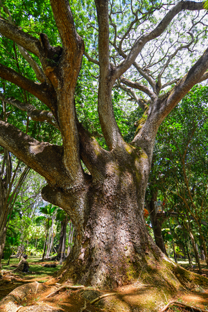 Big tree at botanic garden on Mauritius Island. Mauritius is an island nation in the Indian Ocean