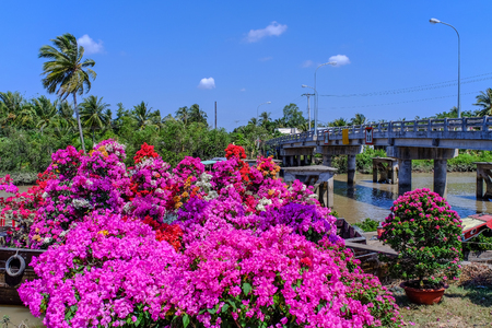Bougainvillea flower plantation at spring time in Can Tho, Vietnam.