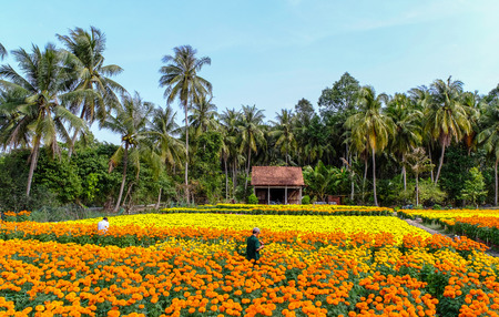 People working on flower field at spring time in Can Tho, Vietnam.