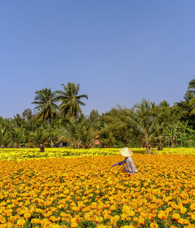 A woman working on flower field at spring time in Mekong Delta, Southern Vietnam. 写真素材