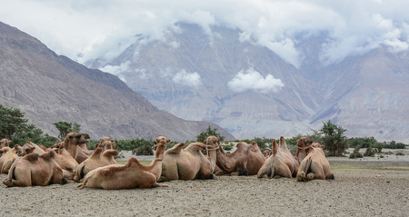 Camels relaxing on sand hill in Ladakh, India. Stock Photo