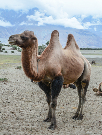 A camel standing on sand hill in Ladakh, North of India.