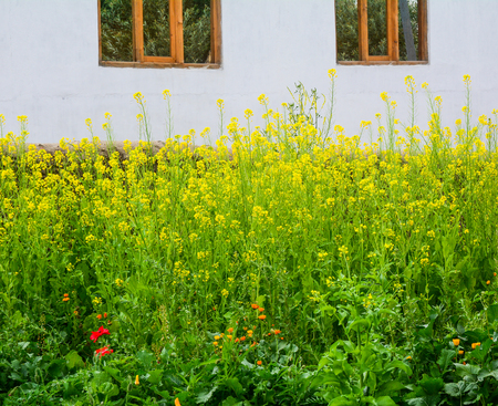 Yellow mustard flowers blooming at garden in spring time.