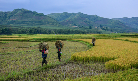 Yen Bai, Vietnam - May 29, 2016. People carrying rice on the field at summer day in Yen Bai, Vietnam.