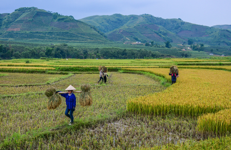 Yen Bai, Vietnam - May 29, 2016. People carrying rice on the field at sunny day in Yen Bai, Vietnam.