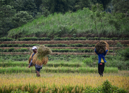 Yen Bai, Vietnam - May 29, 2016. Farmers carrying rice on the field at sunny day in Yen Bai, Vietnam.