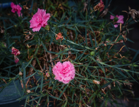 Carnation glory flowers at the garden in spring time. Stock Photo