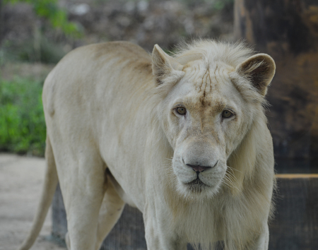 A white lion - Transvaal lion (Panthera leo krugeri) in the zoo.