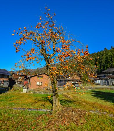 Persimmon tree with fruits at autumn garden in Shirakawa-go, Japan.