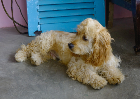 A sad dog lying at house in Dalat, Southern Vietnam.