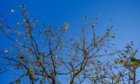 Japanese persimmon tree (kaki) with fruits grow in a garden.