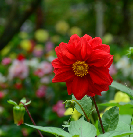 Dahlia flower blooming at botanic garden in spring time.