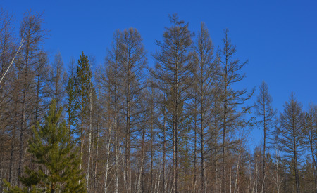 Pine tree forest at winter in Heilongjiang, Northern China.