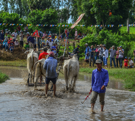 Chau Doc, Vietnam - Sep 3, 2017. Cows (ox) racing on rice field in Chau Doc, Vietnam. The ox racing in Chau Doc has an age old tradition.