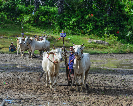 Chau Doc, Vietnam - Sep 3, 2017. Cows standing on the field during ox racing festival in Chau Doc, Vietnam. The ox racing in Chau Doc has an age old tradition.