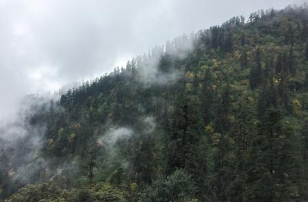 Pine tree forest at misty day in Khopra, Nepal. 版權商用圖片
