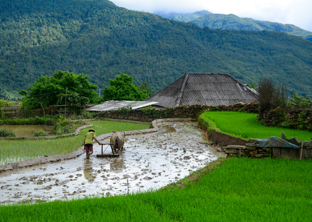 Farmer with water buffalo working on the terraced rice field in Sapa, Northern Vietnam. Foto de archivo - 114976455