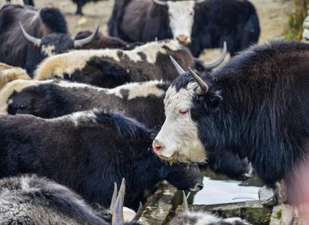 Black yak (cow) on mountain of Annapurna Range of Nepal.
