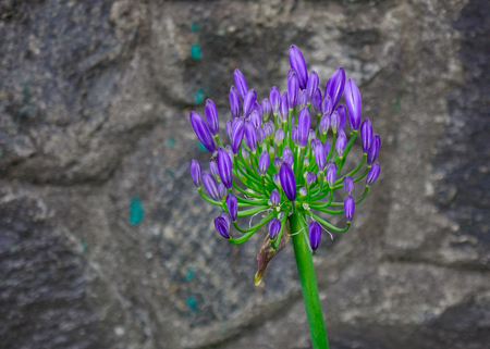 Agapanthus purple cloud or African lily flower blooming at botanic garden. Stock Photo