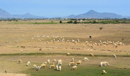 Sheep on grass at sunny day in Phan Rang, Vietnam. 免版税图像