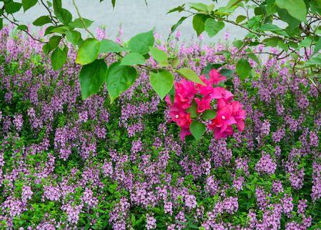 Purple flowers blooming at botanic garden in Nanning, China.