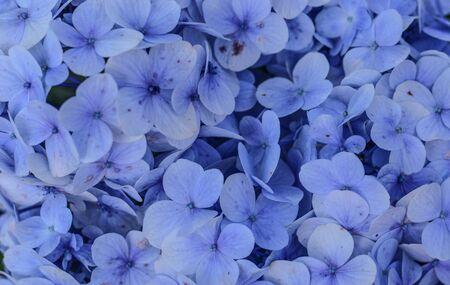 Purple blue flower of Bigleaf Hydrangea with yellow shade. Zdjęcie Seryjne