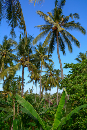 Coconut trees on Lombok Island, Indonesia. Lombok is an Indonesian island east of Bali. Stock fotó